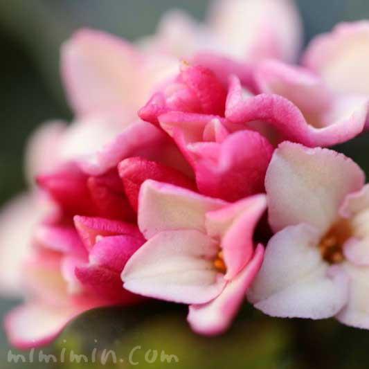 ジンチョウゲの花 ピンクの画像