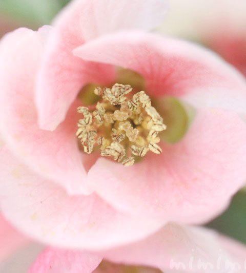 ボケ(木瓜)の花の写真&花言葉