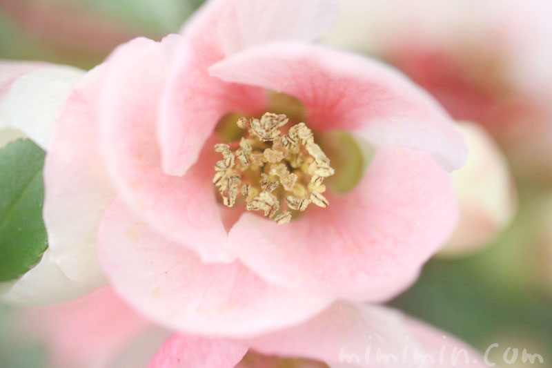 木瓜の花の写真&花言葉の画像