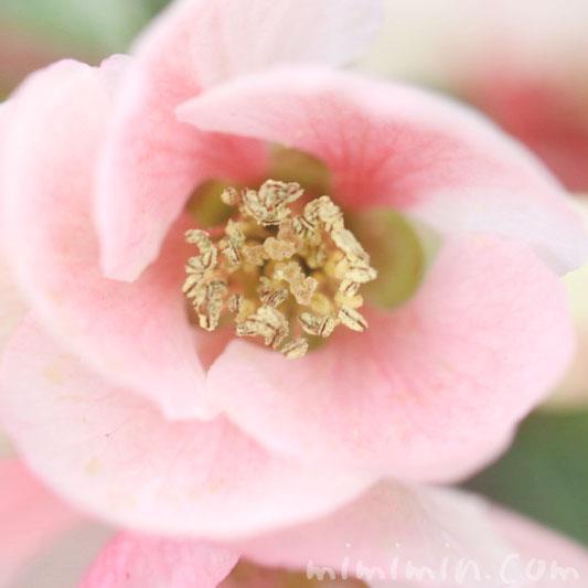 ボケの花の画像&花言葉