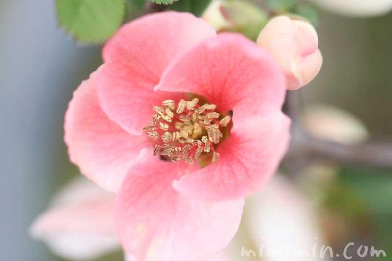 木瓜の写真&花言葉の画像