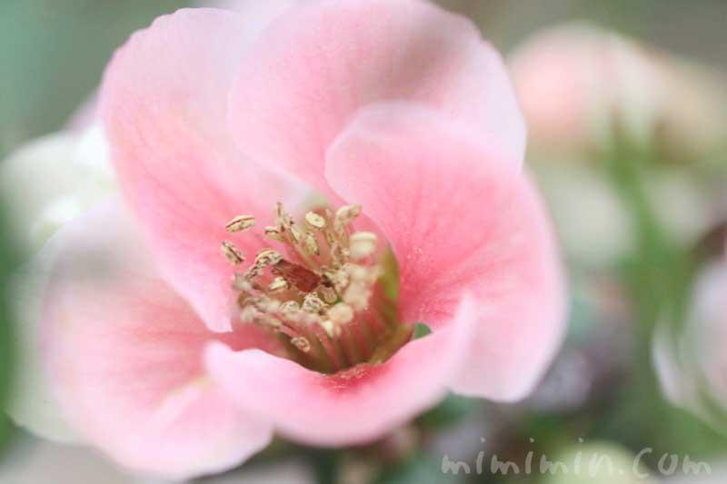ボケの花の写真&花言葉