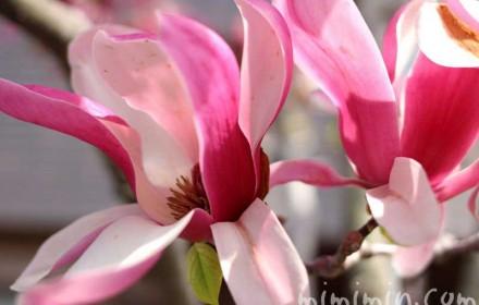 シモクレン(紫木蓮)の画像