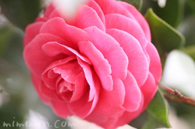 千重咲き椿・乙女椿(濃いピンク)の花の写真