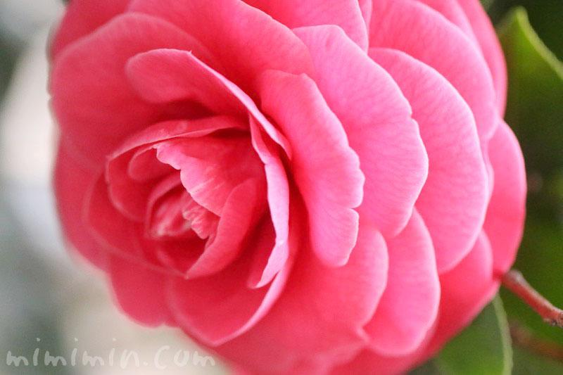 ツバキ(千重咲き・オトメツバキ)の写真