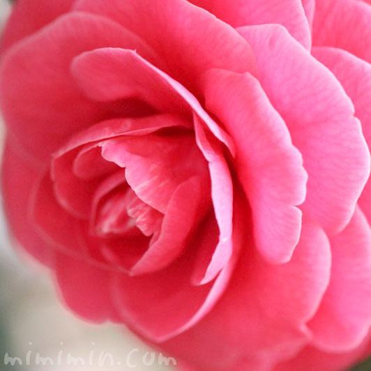 千重咲き椿・乙女椿(濃いピンク)の画像