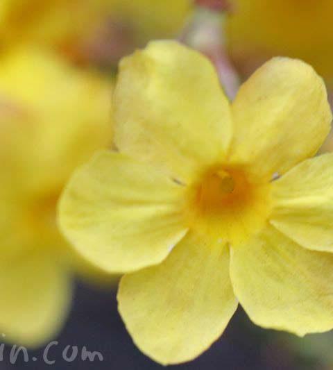 オウバイの花の写真・花言葉・名前の由来
