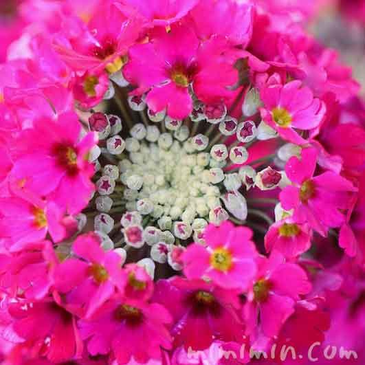 プリムラマラコイデスの花(濃いピンク)