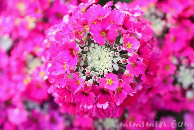 プリムラマラコイデスの花(濃いピンク)の画像