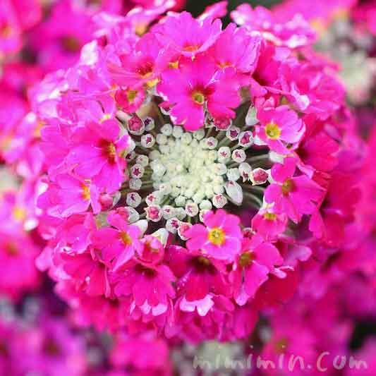 プリムラマラコイデスの花(西洋サクラソウ)の