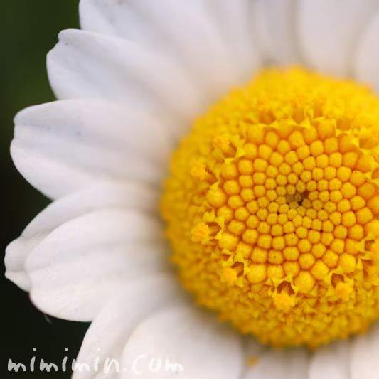 クリサンセマム・ノースポールの花