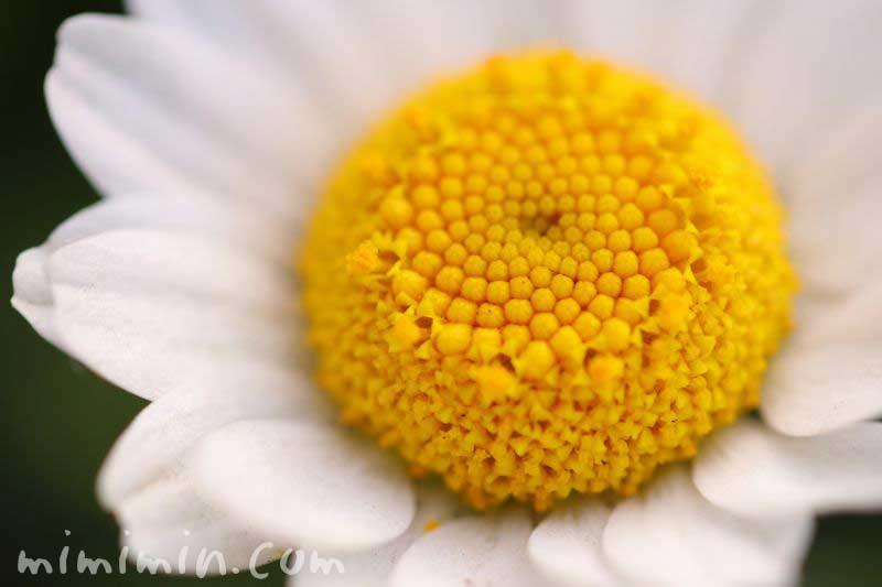 ノースポールの花言葉の写真