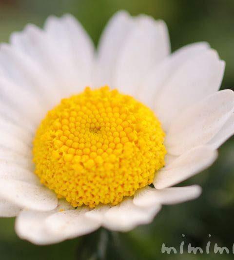 クリサンセマム・ノースポールの写真・花言葉・名前の由来