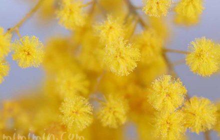 ミモザの花・黄