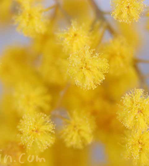 ミモザアカシア(ギンヨウアカシア)の花の写真・花言葉