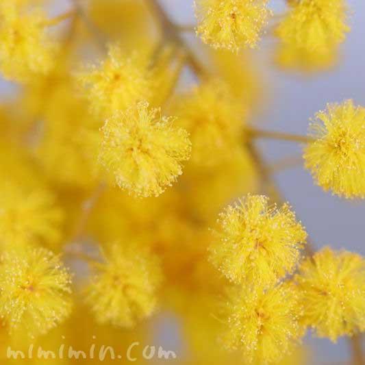 ギンヨウアカシア・黄の画像