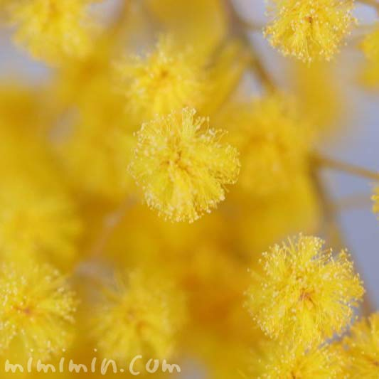 ミモザアカシアの花・黄