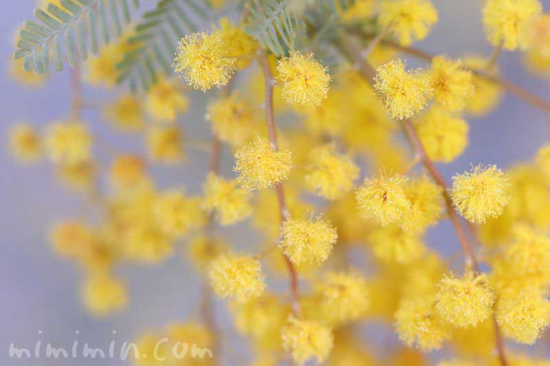 ギンヨウアカシアの花・黄の画像