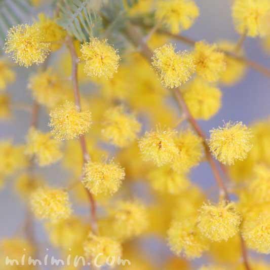 ミモザアカシア・黄の画像