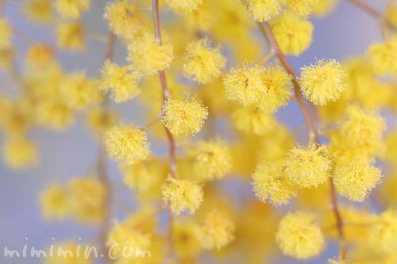 銀葉アカシア 黄色の画像