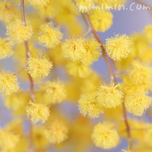 ミモザ・黄の画像