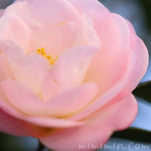 山茶花の花言葉の写真