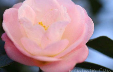 サザンカの誕生花の画像
