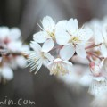 シナミザクラの花の写真