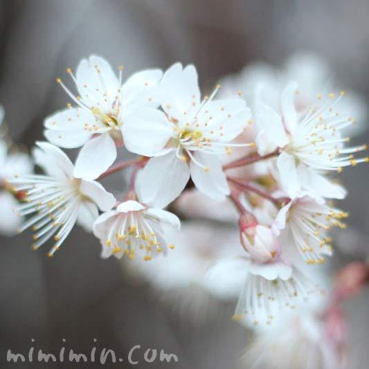 シナミザクラ 支那実桜の画像