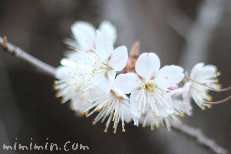 支那実桜の写真