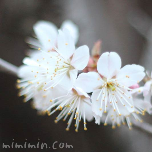 支那実桜の花の画像