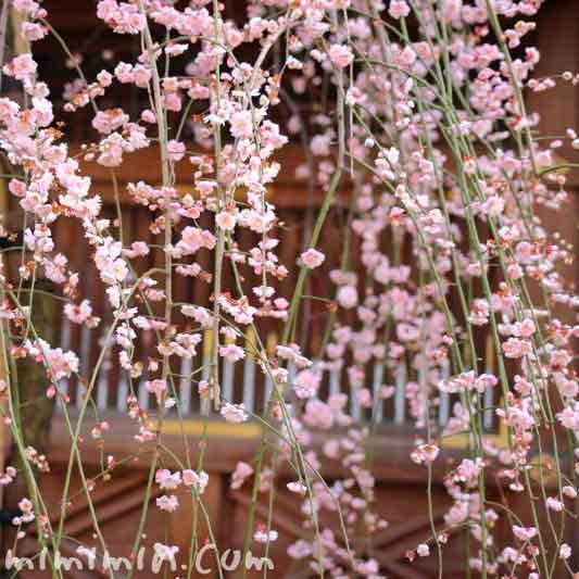 しだれ梅の花の画像