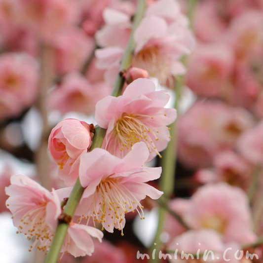 湯島天満宮 枝垂れ梅の写真