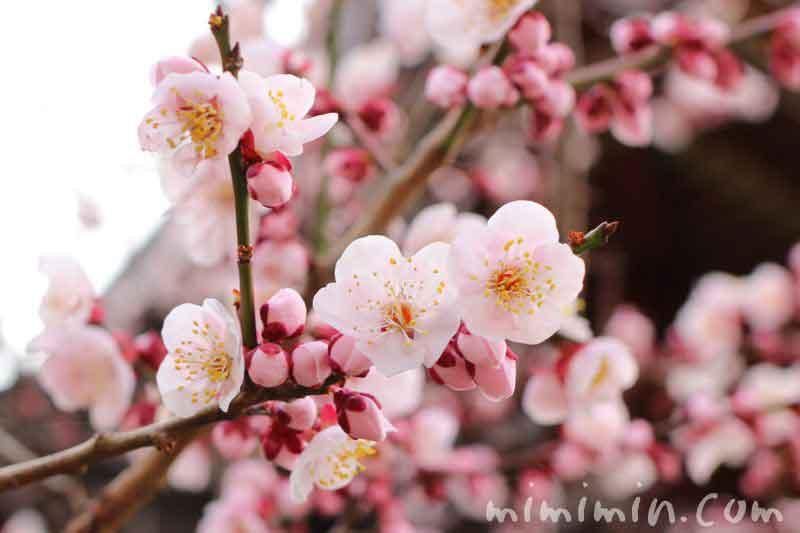 ピンク色の梅の写真 湯島天満宮