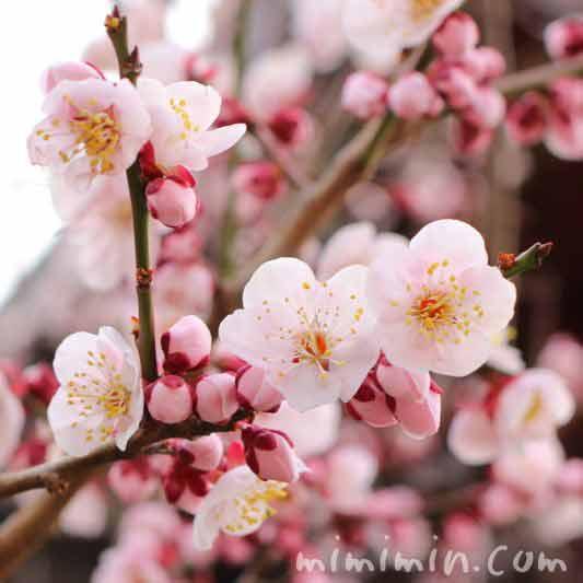 ピンク色の梅の花の画像 湯島天満宮