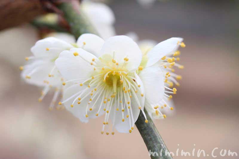 白梅の花の写真 湯島天満宮