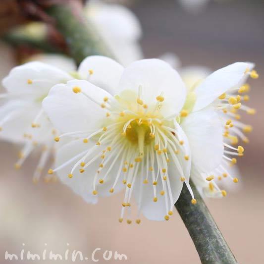 白梅の写真 湯島天満宮