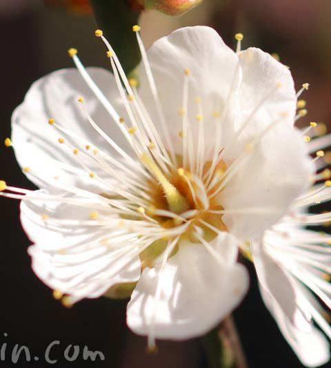 梅の花(ウメ)|梅の毒性|花の写真・花言葉