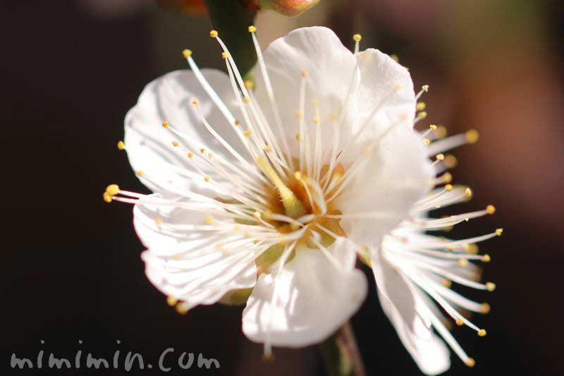 ウメの花・白の画像