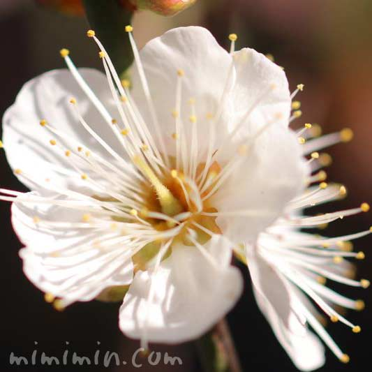梅の花・白の写真