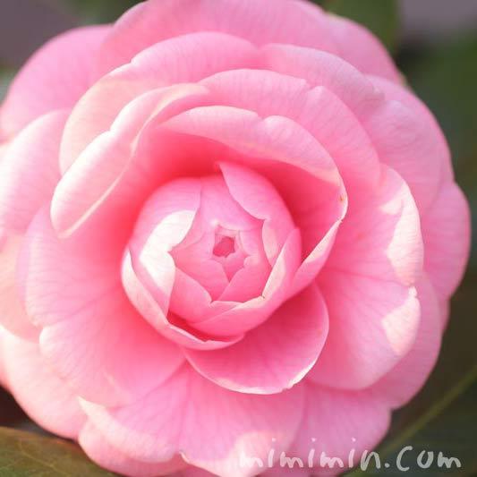 千重咲きオトメツバキの写真