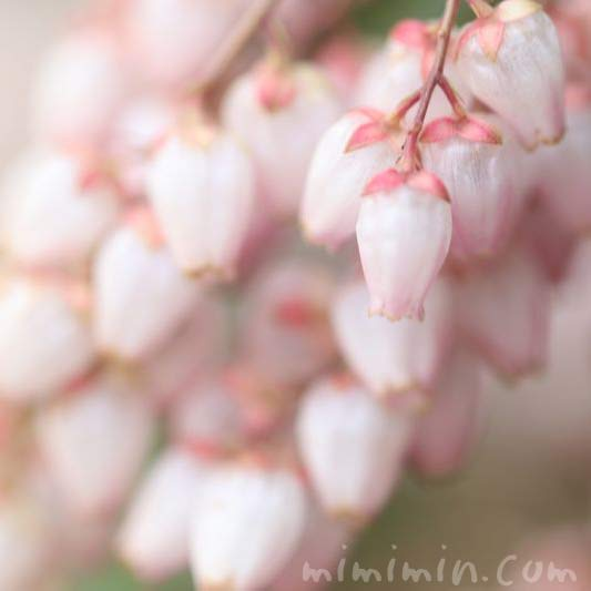 アセビの花 ピンクの写真