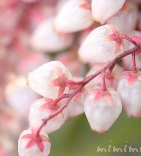 アセビ(馬酔木)の花の写真・アセビの花言葉