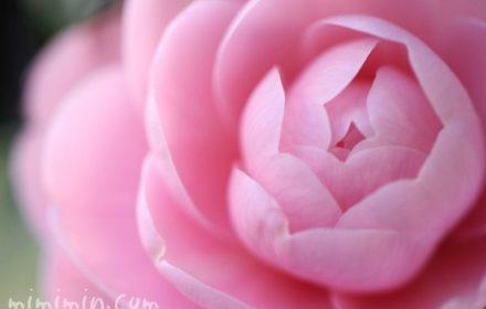 椿の花(乙女椿)の写真