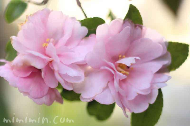 薄いピンク色のサザンカの写真