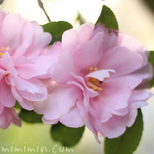 薄いピンクのサザンカの花の写真