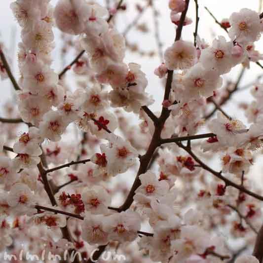 梅の花・せたがや梅まつりの写真