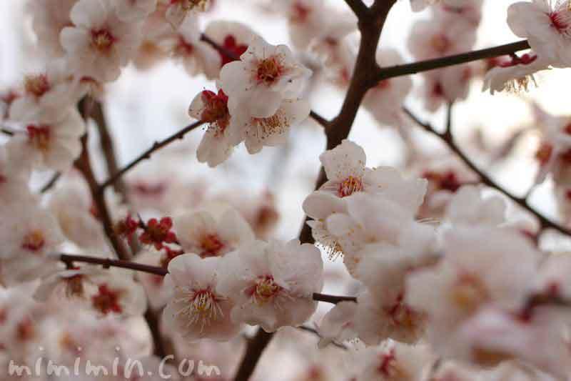 薄いピンクの梅の花・せたがや梅まつりの写真