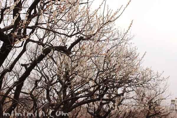 羽根木公園の梅林の画像