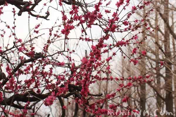 羽根木公園の梅まつりの写真